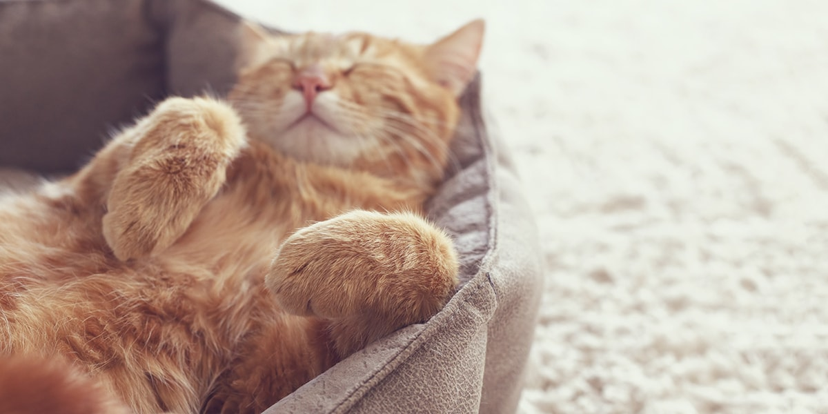 Ginger cat asleep in cat bed