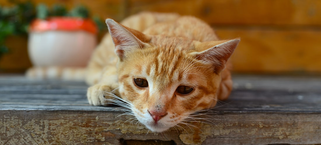 Ginger cat lying down looking sad