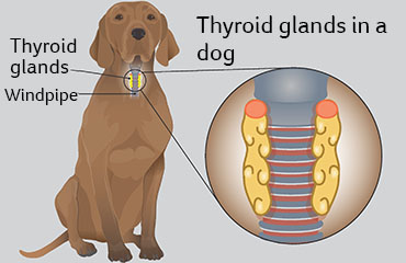 Illustration showing thyroid glands in dogs