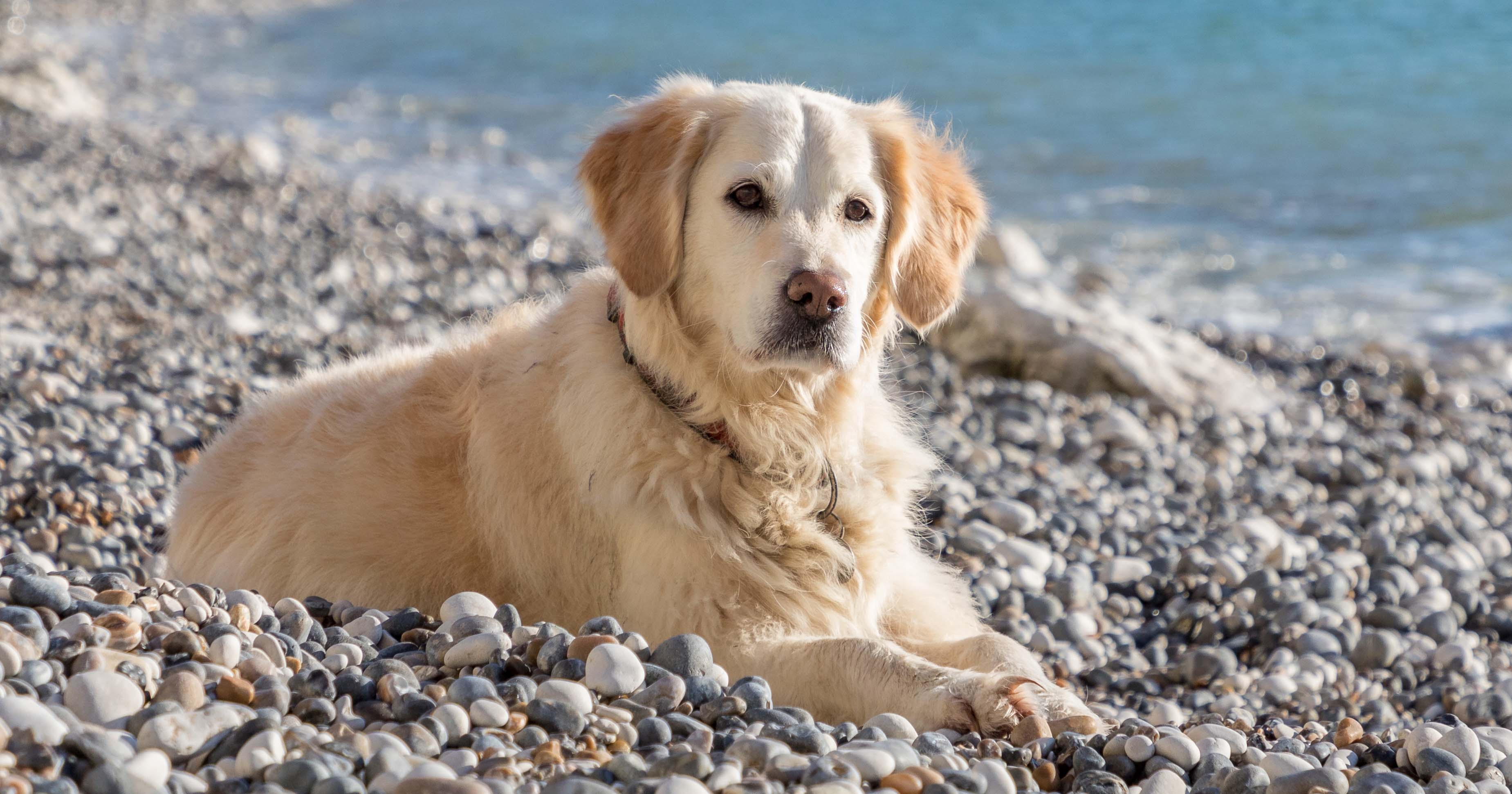 Causes of weight loss in golden retrievers