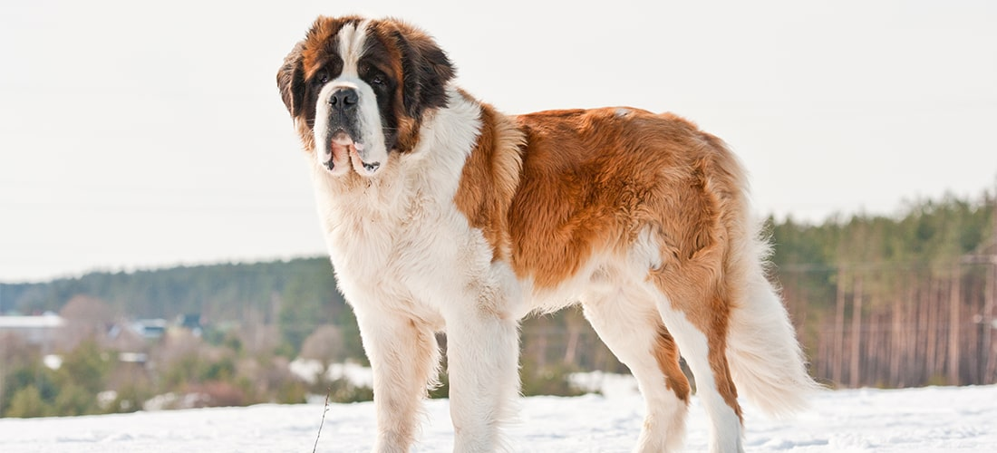 Saint Bernard standing tall in snowy environment