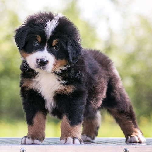 Bernese Mountain Dog Pdsa