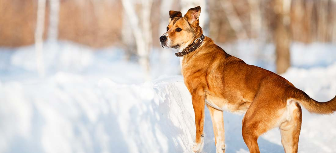 Cross-breed dog in the snow