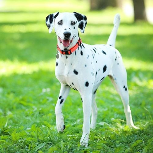 Dalmatian - PDSA