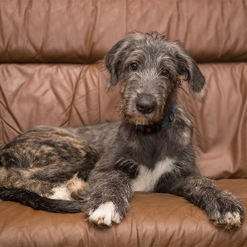 Irish Wolfhound Pdsa