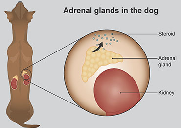 Illustration showing the adrenal glands in a dog