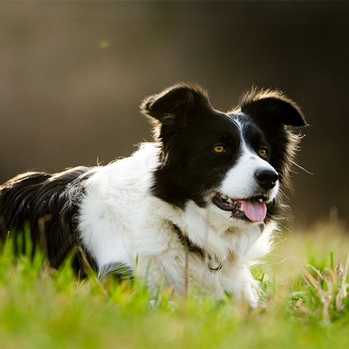 Loving new border looking homes for collies Free to
