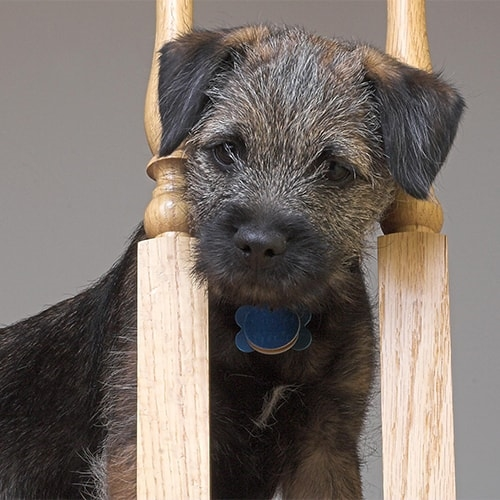 Border Terrier Pdsa