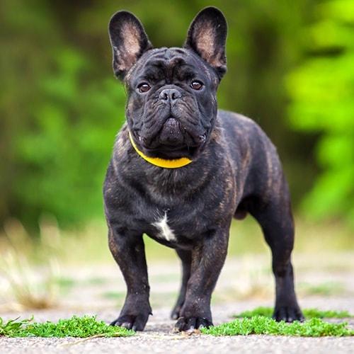 French Bulldog Pdsa