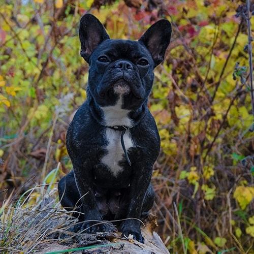 French Bulldog - PDSA