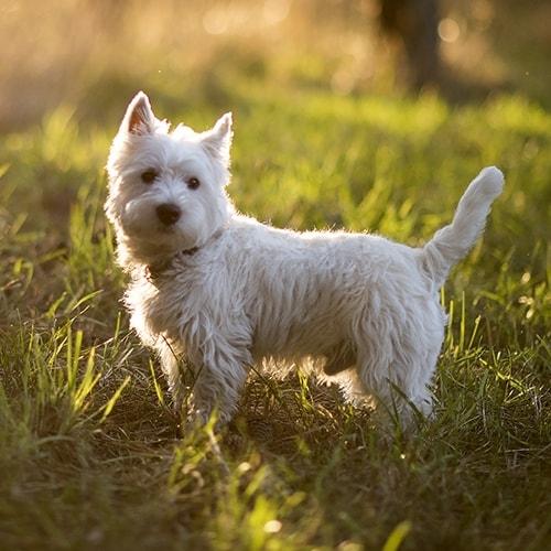 West Highland White Terrier Pdsa