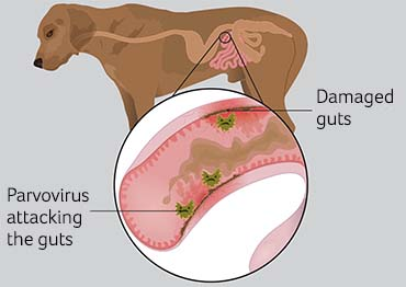 Illustration showing parvovirus in dogs
