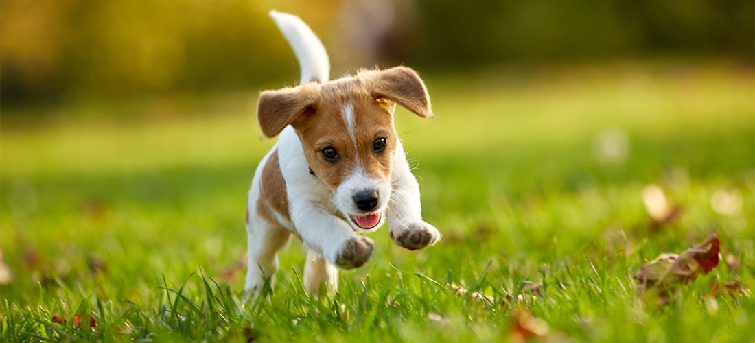 Jack Russell puppy bounding around on grass