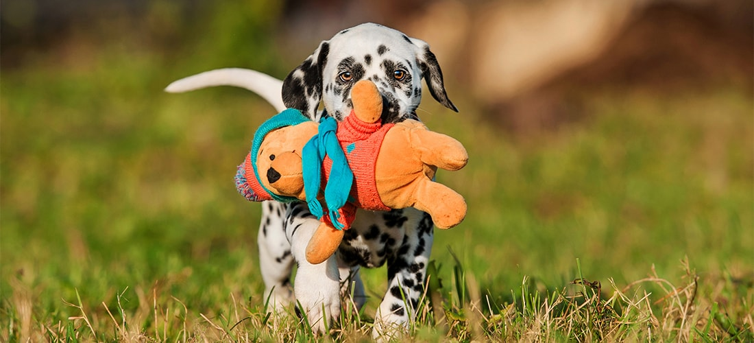 Dalmatian puppy with teddy bear
