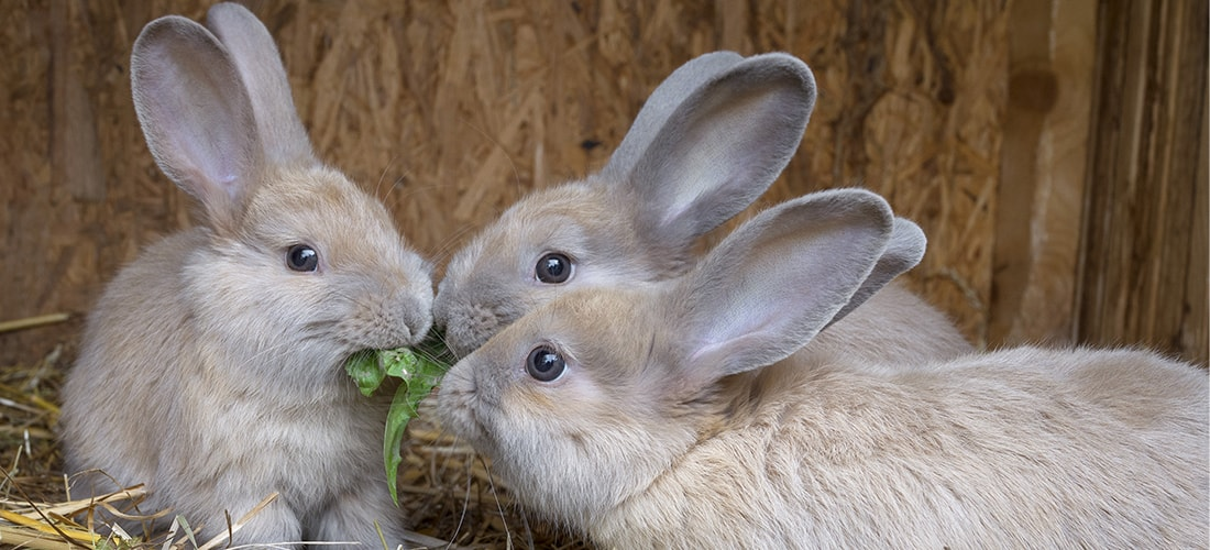 Three light brown rabbits all sharing the same piece of food