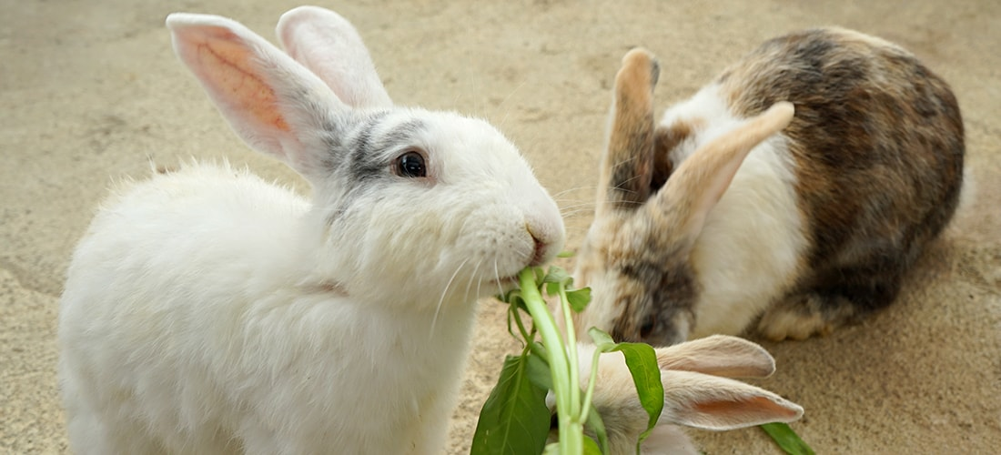A white rabbit and a brown and white rabbit eating and sharing some leafy greens
