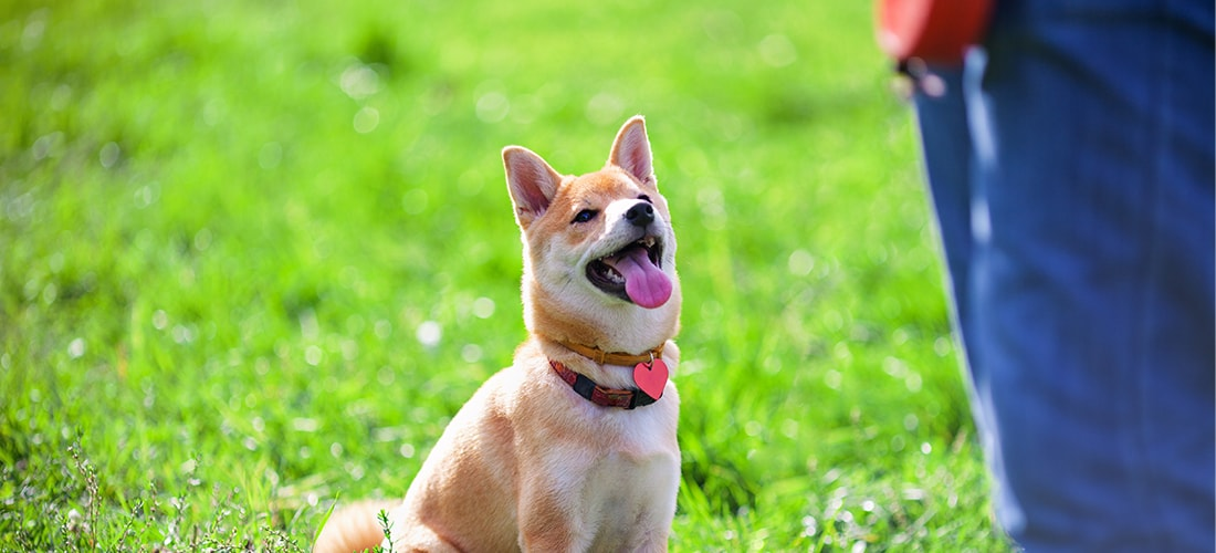Shiba Inu sat on the grass looking eagerly up at its owner