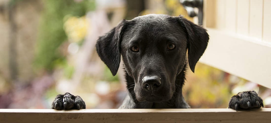 Black Labrador peering over fence while resting both paws on it