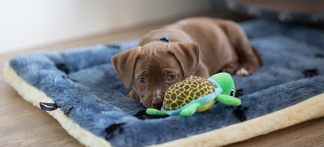 Cute brown puppy lying on bed with green turtle teddy
