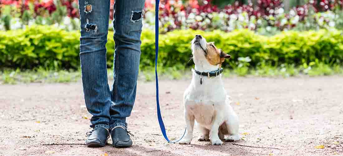 Jack Russell sitting looking up at owner