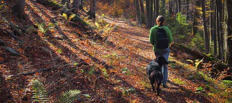 Bigger dog walking through woods with owner