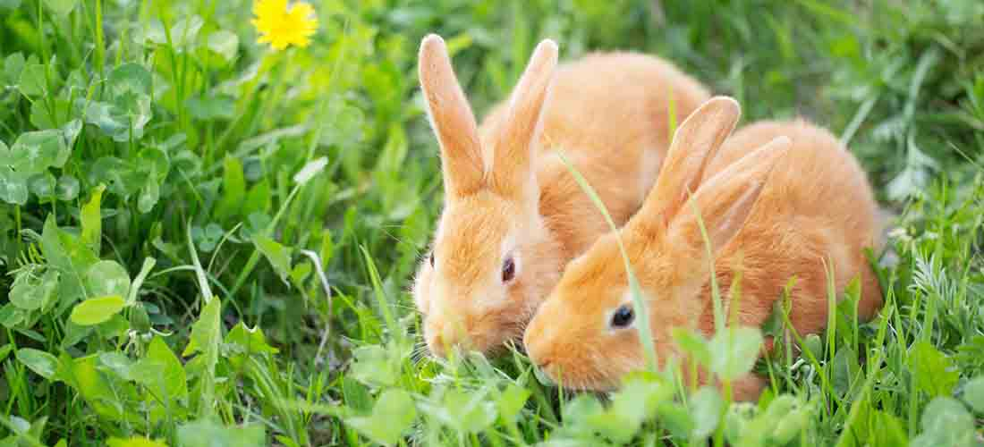 Two ginger rabbits on grass