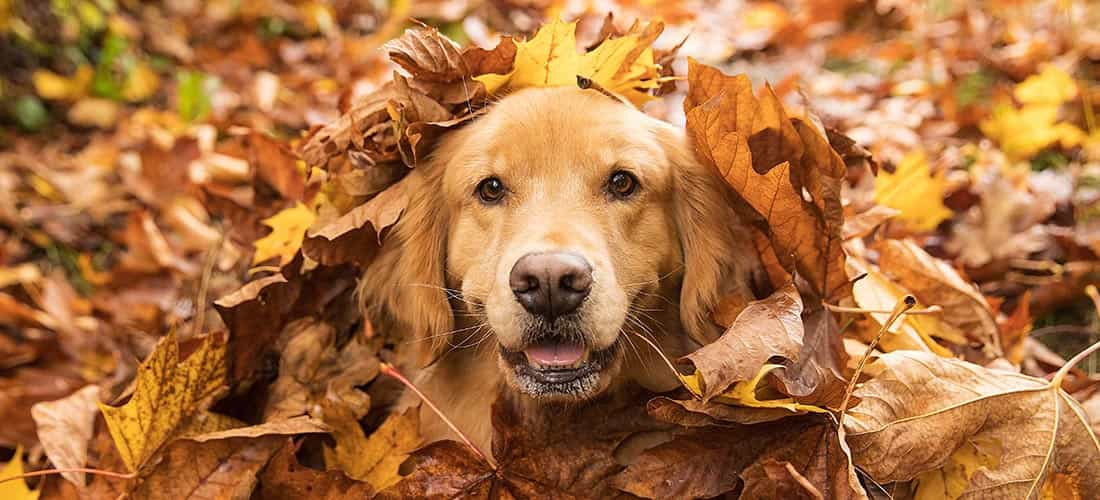 Labrador dog in pile of leaves