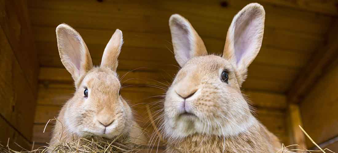 Two rabbits looking down at camera