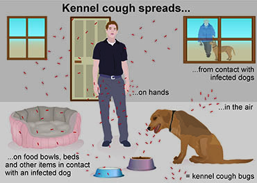 Illustration showing spread of kennel cough
