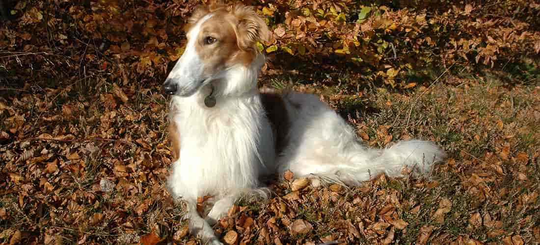 Borzoi relaxing on leaves