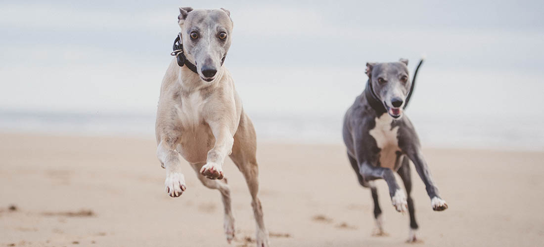 Two Whippets running across beach