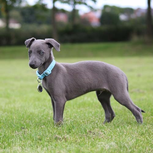 Buy Whippet Puppies For Sale Near Me In Manitoba Canada