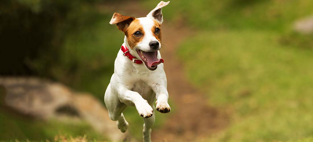 Jack Russell Terrier leaping
