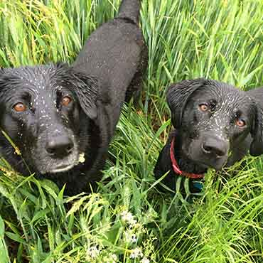 Two dogs covered in grass seeds
