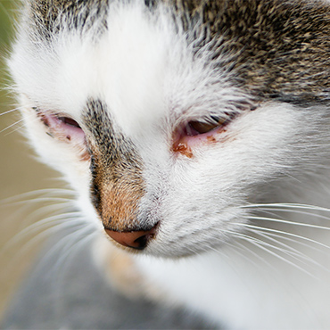 Photo of a cat with crusty eyes