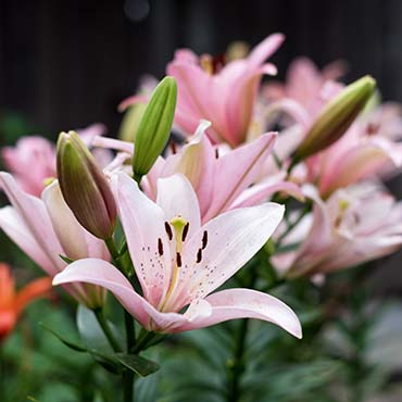 Photo of lilies
