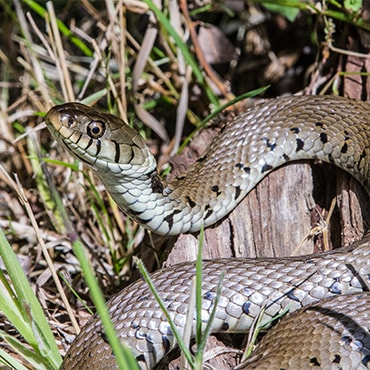 A grass snake hiding in tall grass. It has dark patterning down its sides.