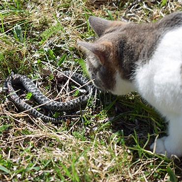 Cat close to snake hiding in the grass